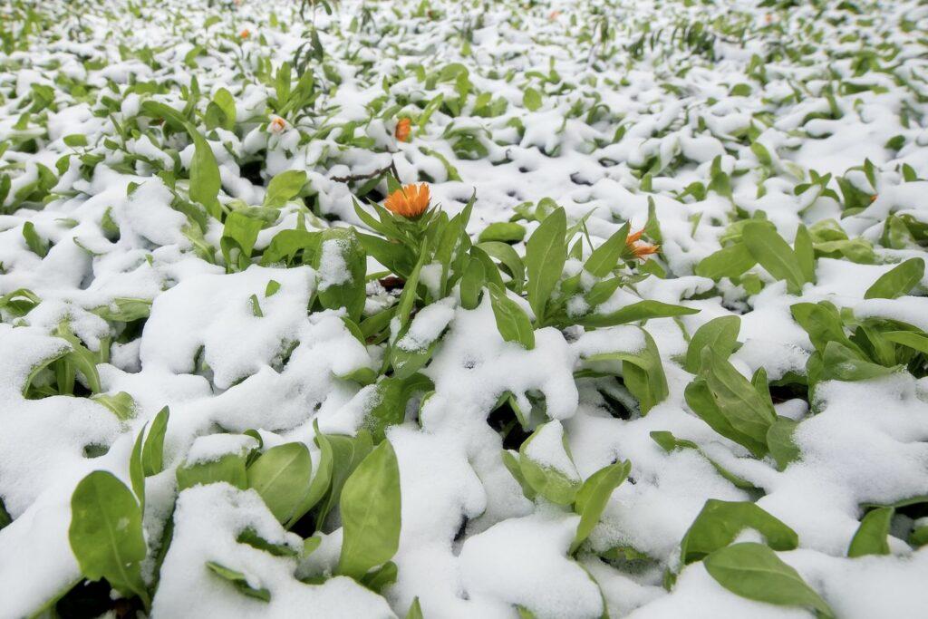 Ringelblumen im Schnee