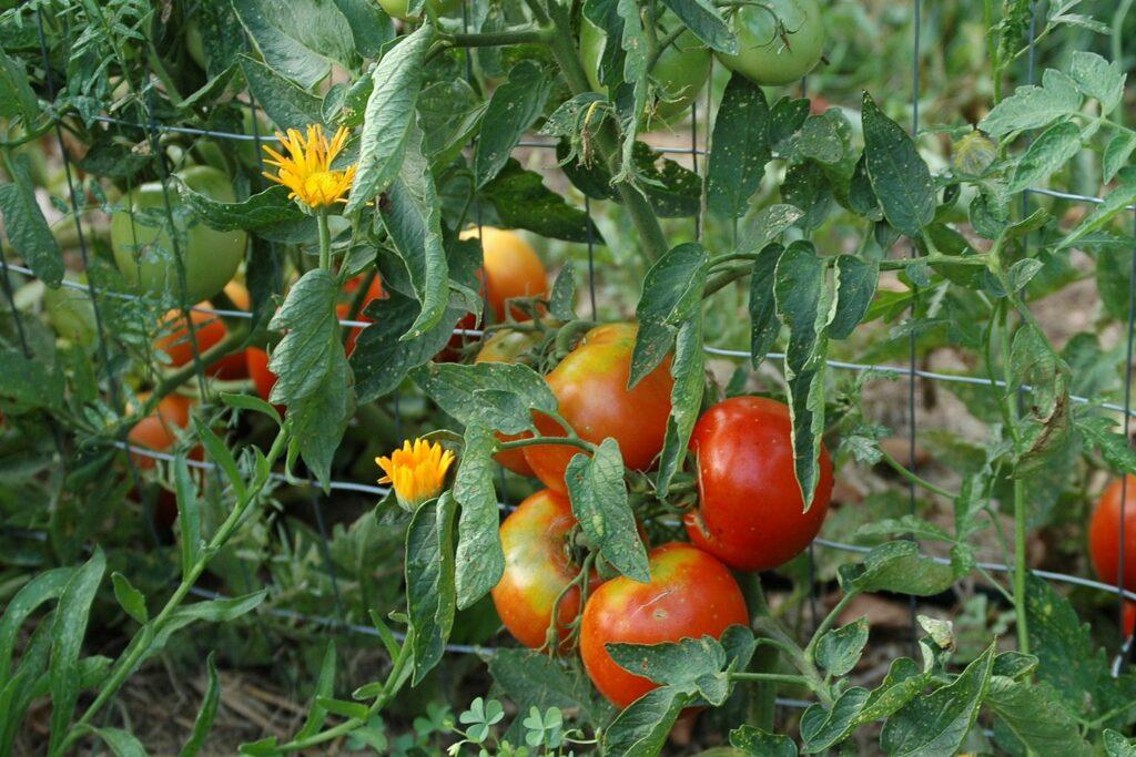 Tomaten und Ringelblumen im Beet