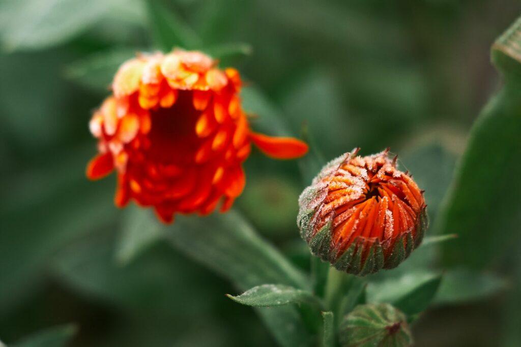 geschlossene Ringelblumen-Blüte