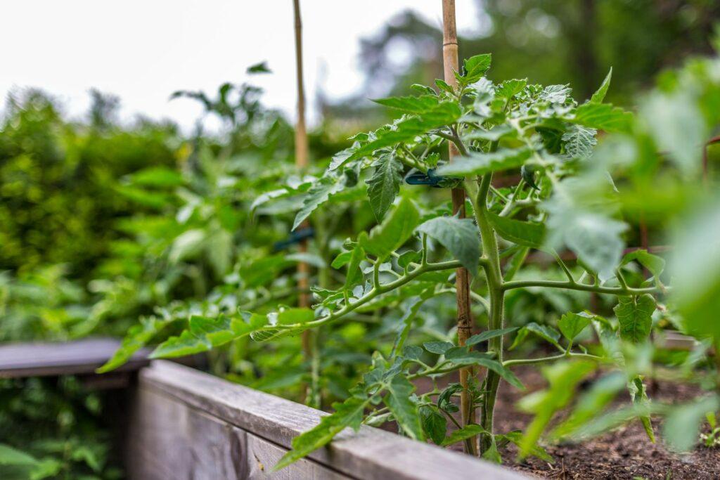 Tomatenpflanzen im Hochbeet