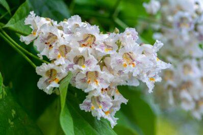 Trompetenbaum: Blüte, Pflege & Arten