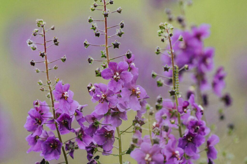 Purpurblütige Königskerze