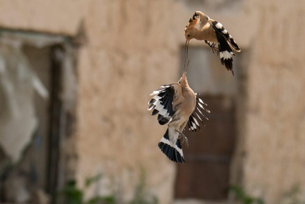 Balz eines Vogelpaares
