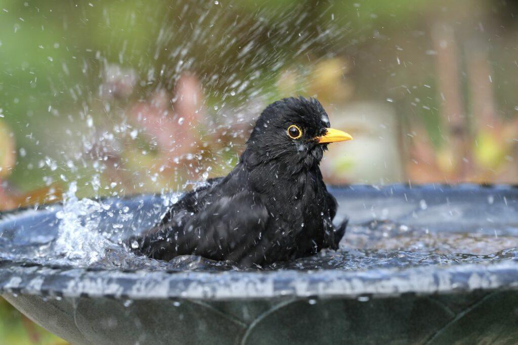 badender Vogel