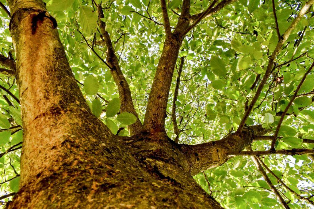 großer Walnussbaum