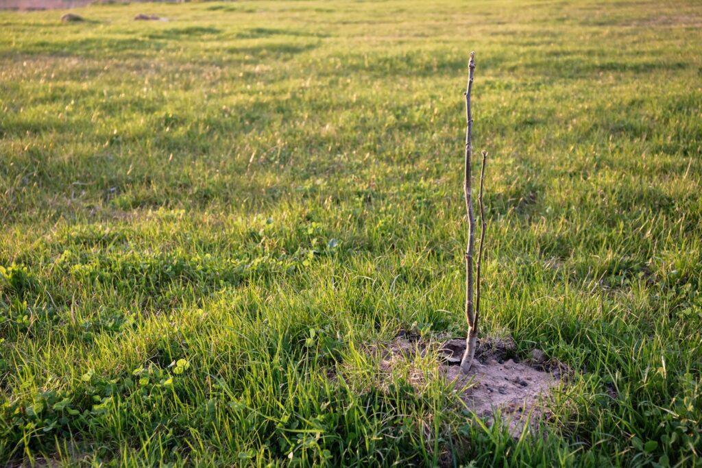 junger Walnussbaum auf der Wiese