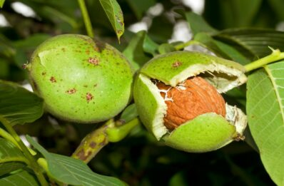 Walnussbaum: Anpflanzen, Schneiden & Pflegen