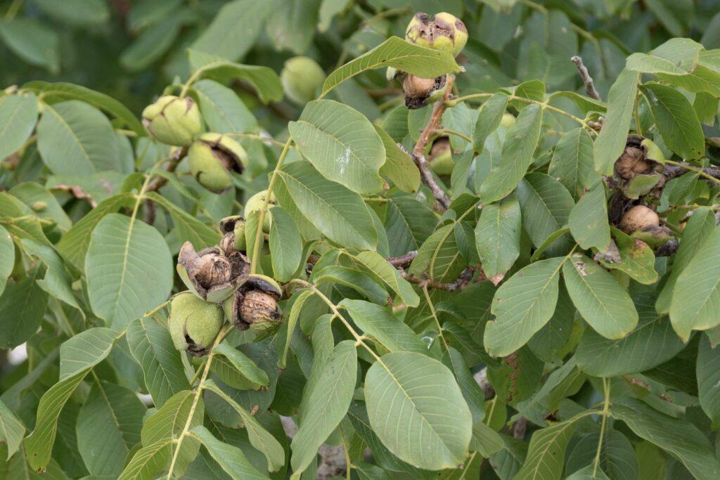 Walnussbaum mit Walnüssen