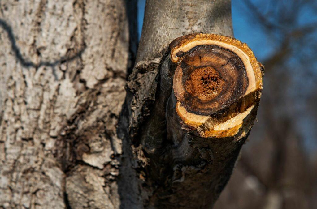 Baum mit abgeschnittenem Ast