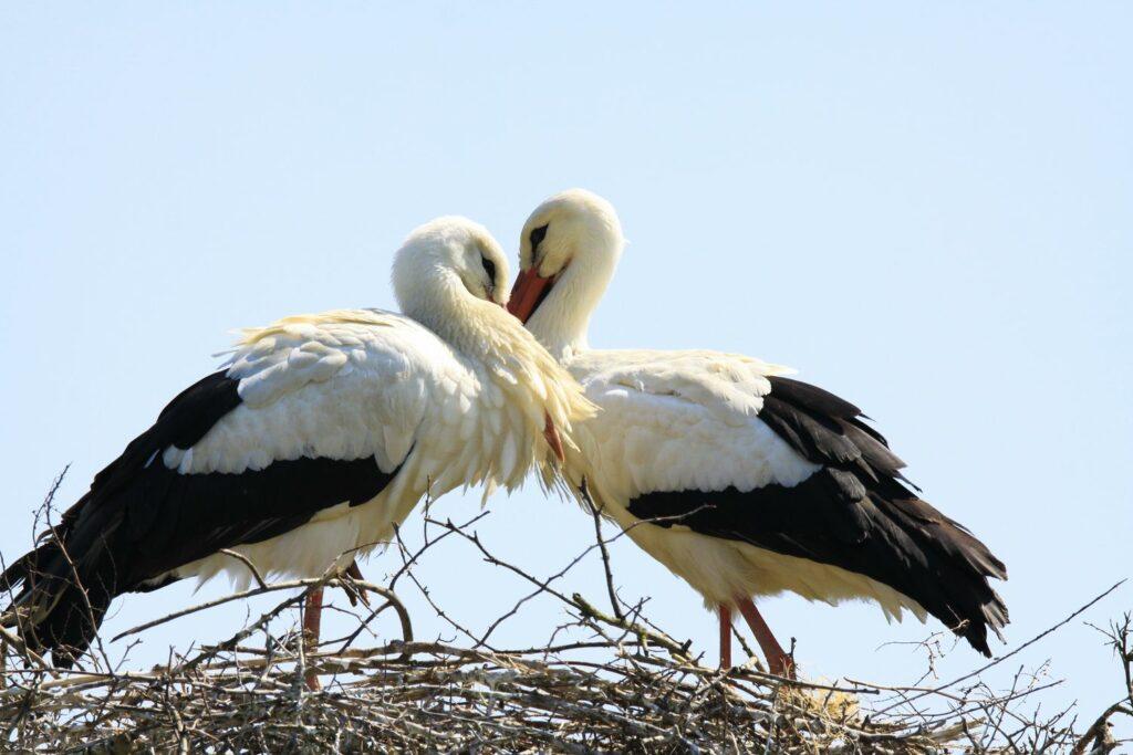 Weißstörche in einem Nest