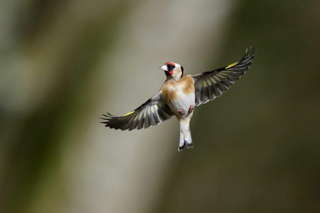 Distelfink fliegt hoch