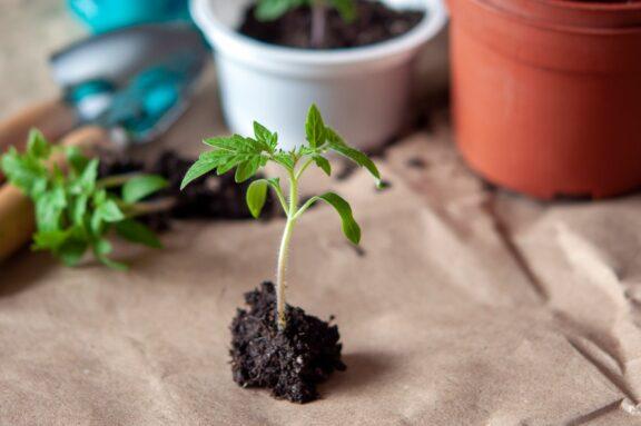 Tomaten pikieren & auspflanzen: Wann, wie & welche Erde ist geeignet?