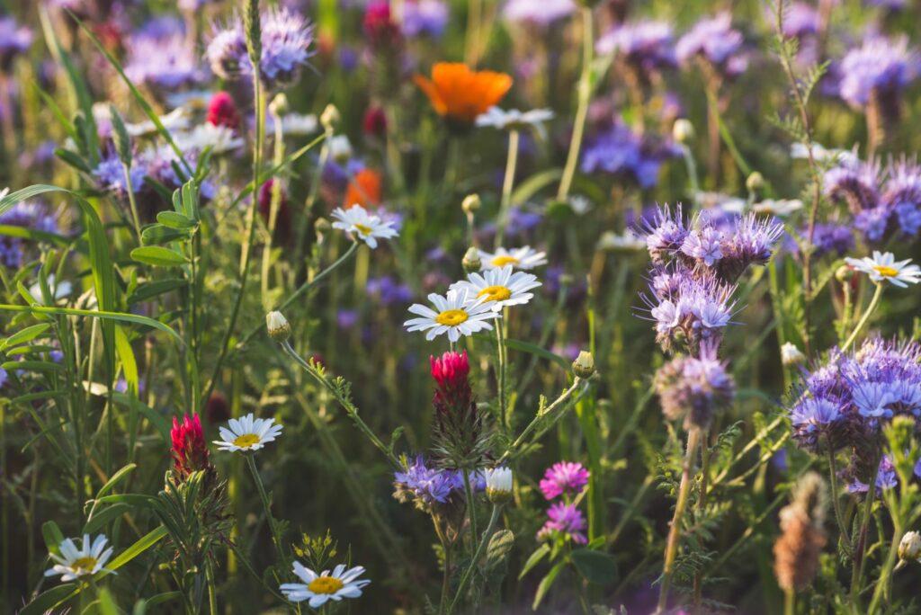 farbenfrohe Blumenwiese