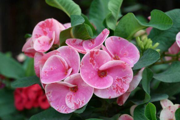Christusdorn: Pflanzen, Pflege & Vermehren von Euphorbia milii