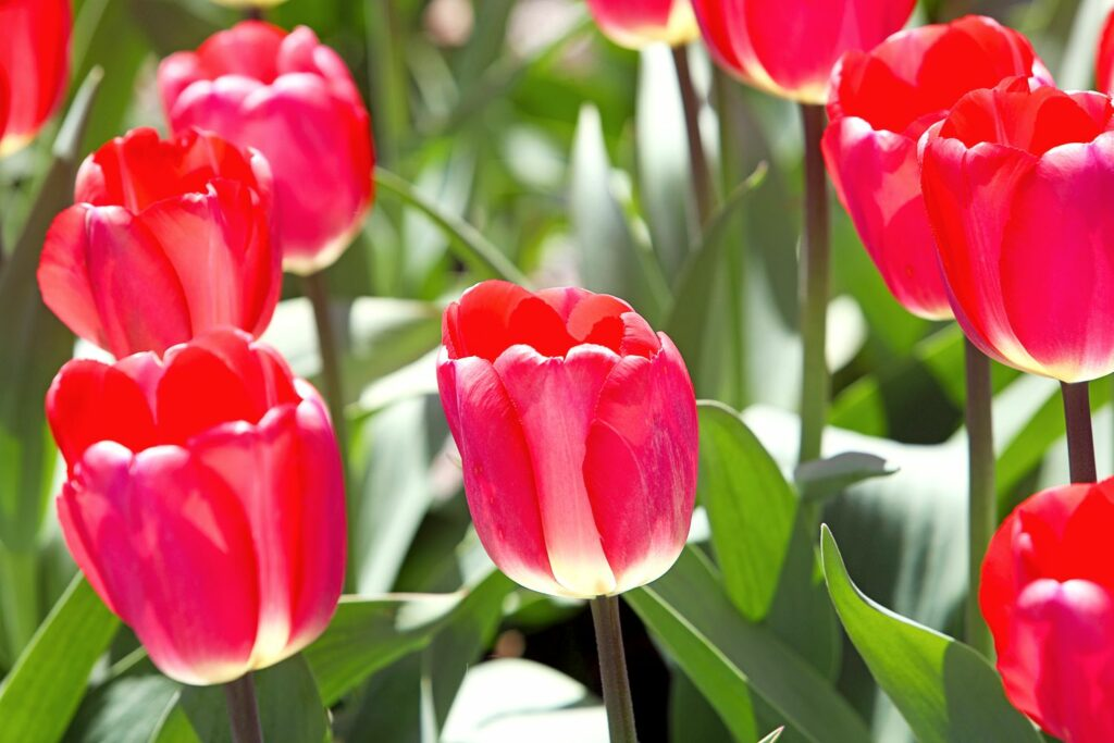 Blüten roter Darwin-Tulpen