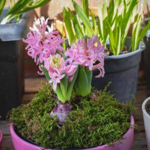 Hyazinthen: Pflanzen, Arten & Blütezeit