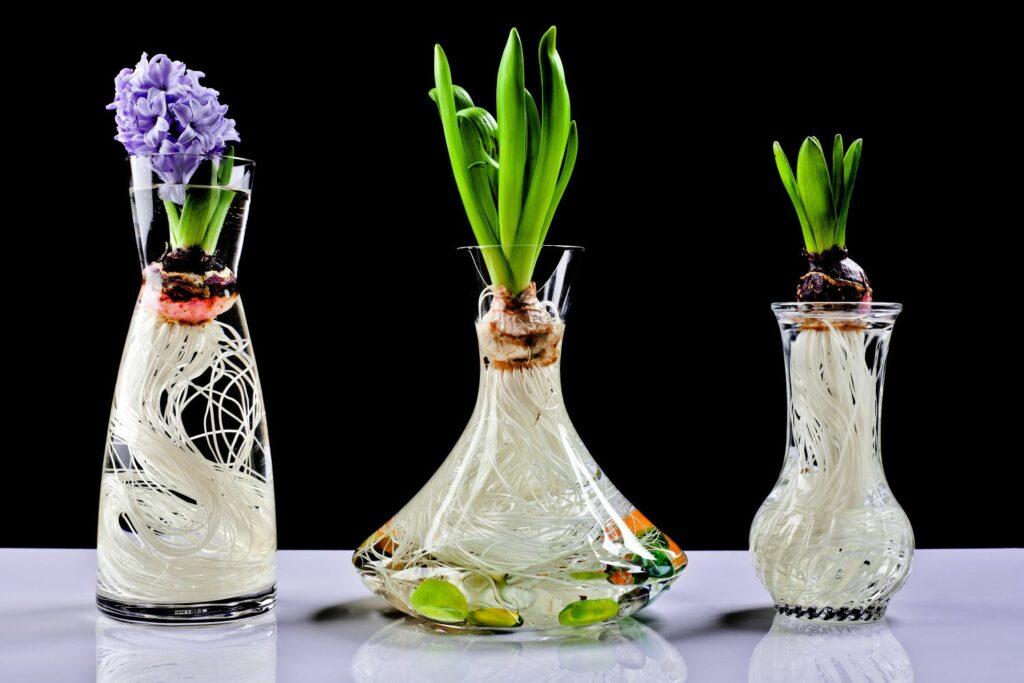 Hyazinthen im Glas