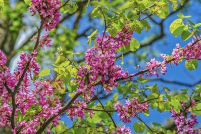 Judasbaum: Schneiden, Pflanzen & Überwintern