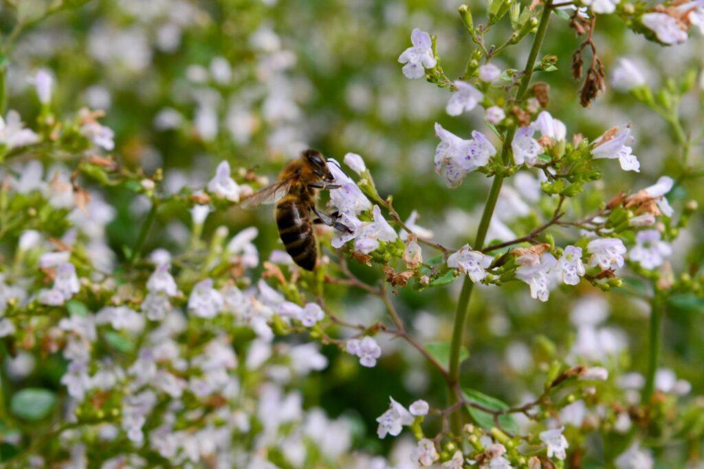 Biene an einer Bergminze