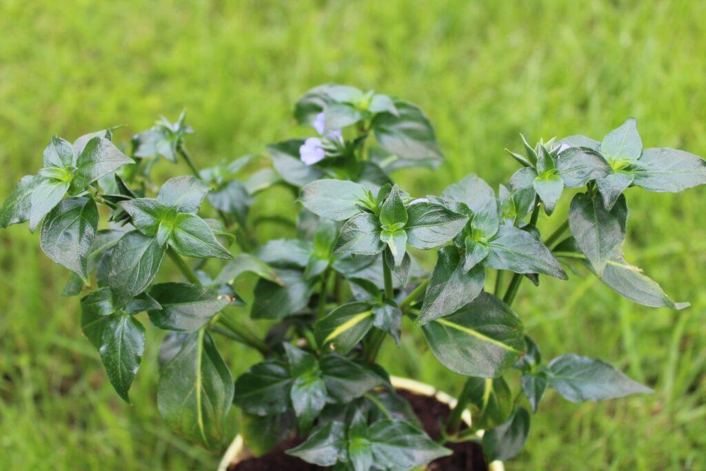 dicke Blätter des Pilzkrauts