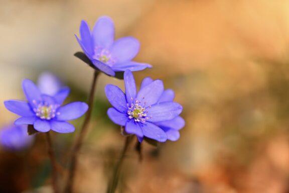 Leberblümchen: Blütezeit, Standort & Pflege