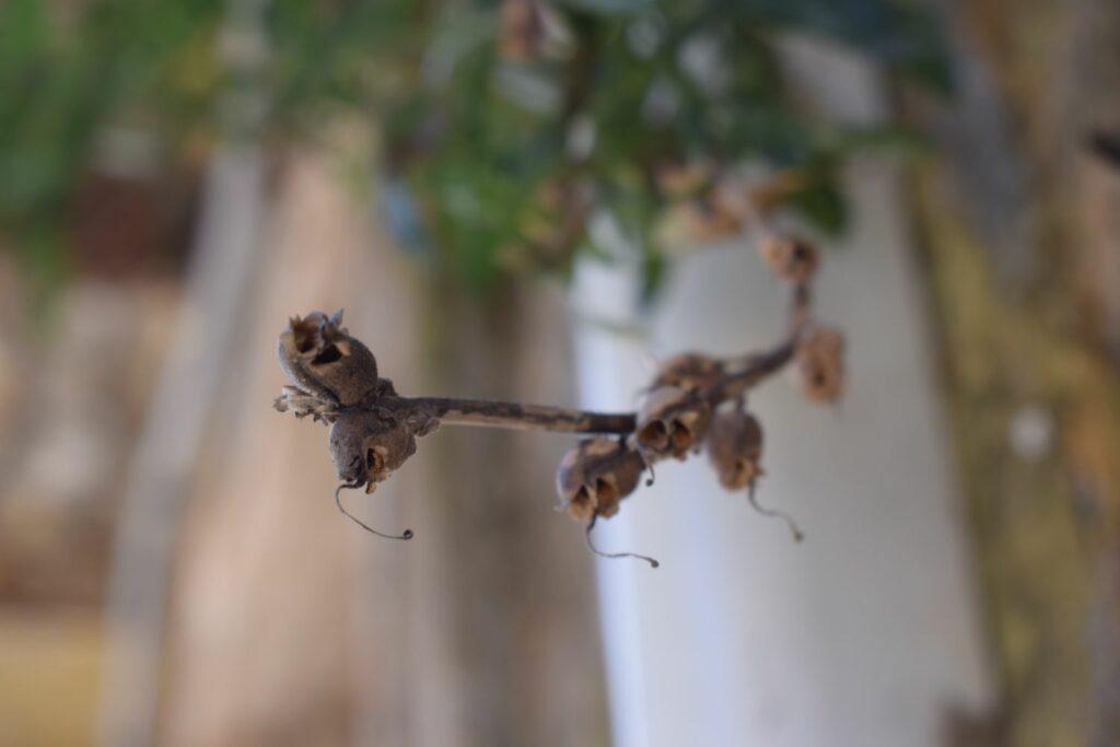 Reife Samenkapseln der Löwenmäulchen