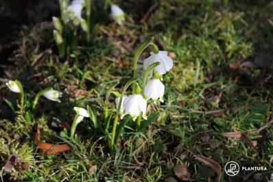 Märzenbecher: Steckbrief, Pflanzen & Pflegen