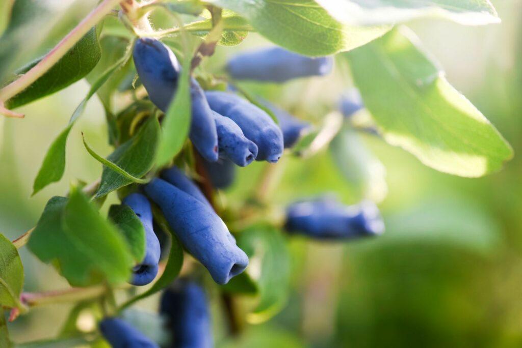 Maibeeren-Früchte