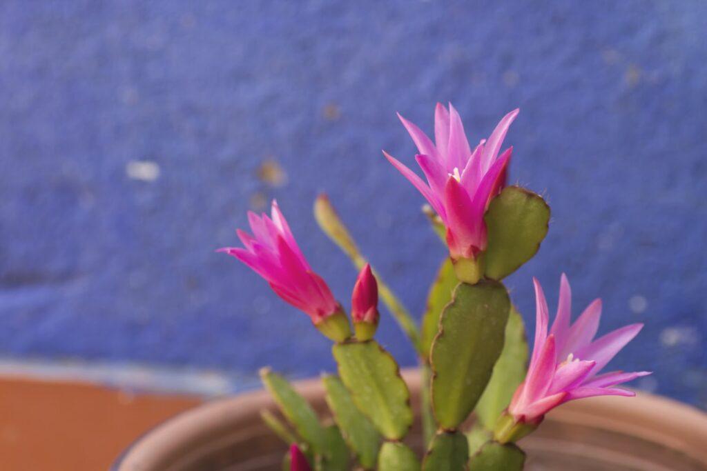 rosane Blüten des Osterkaktus