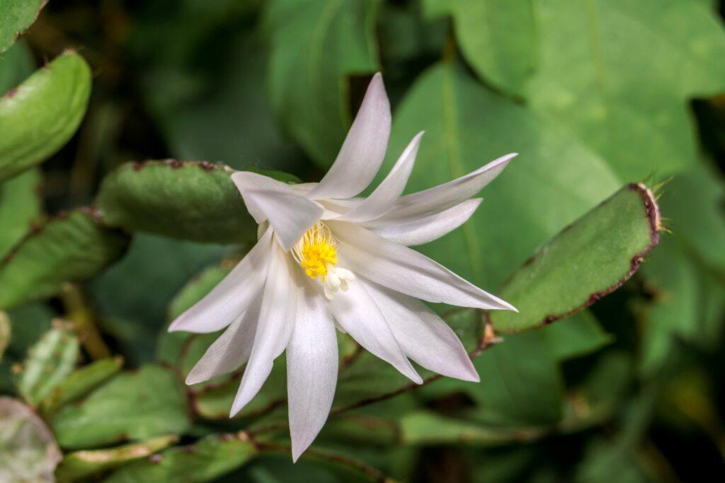 Osterkaktus weiße Blüten