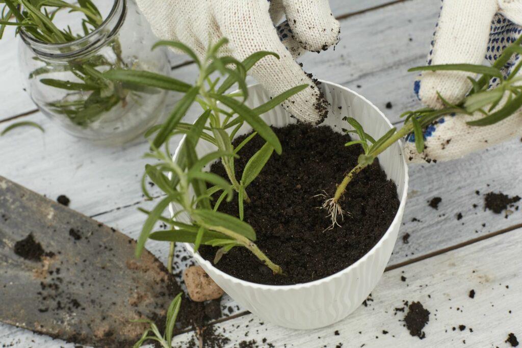 Rosmarin vermehren