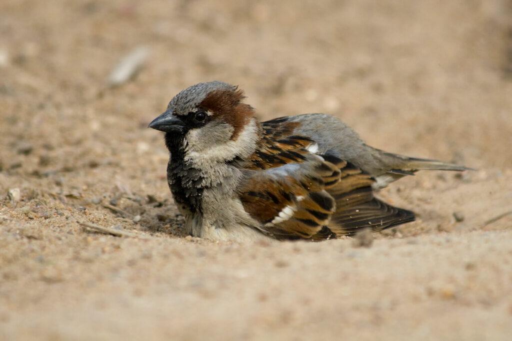 Vogel beim Sandbad