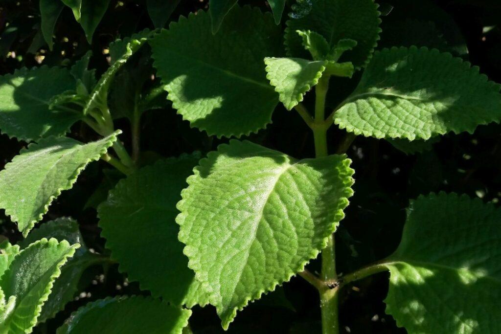 Blätter der Mexikanischen Minzpflanze