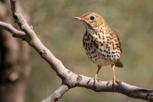 Singdrossel: Der gepunktete Vogel im Portrait