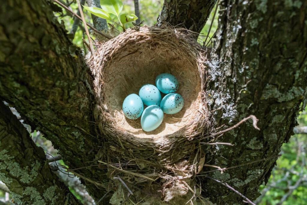 Eier der Singdrossel