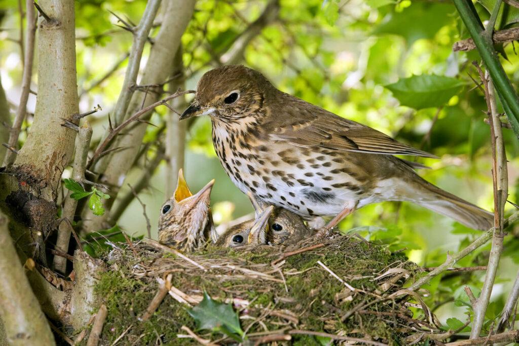 Singdrossel-Nest