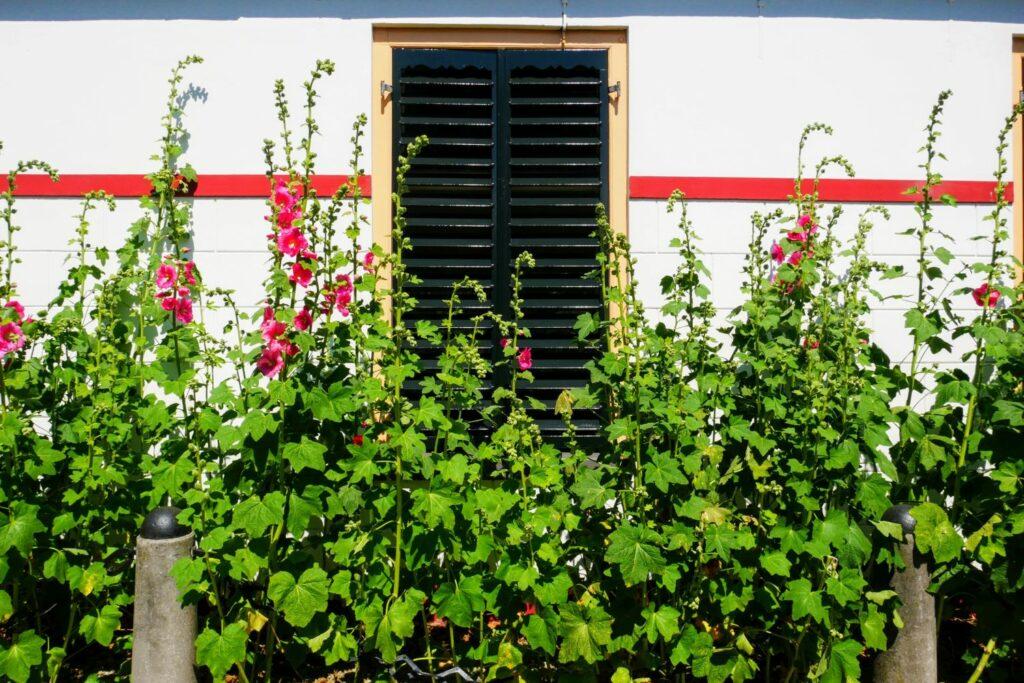 Stockrosen im Garten