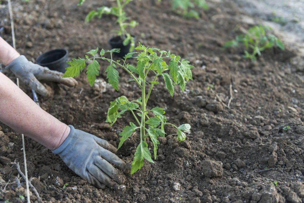 Tomatenpflanzen werden ausgesetzt