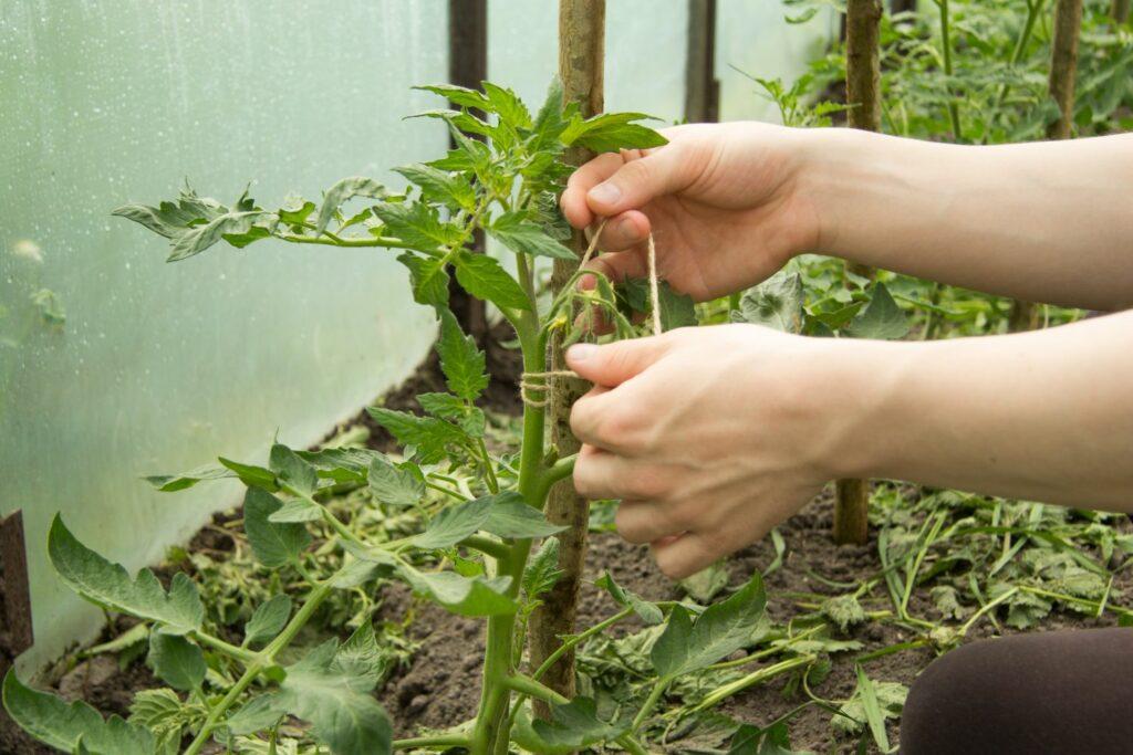 Tomatenpflanzen werden angebunden