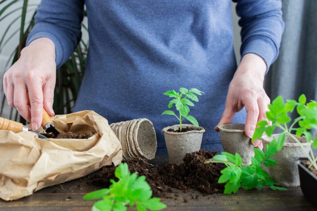 Tomaten-Jungpflanzen werden umgesetzt