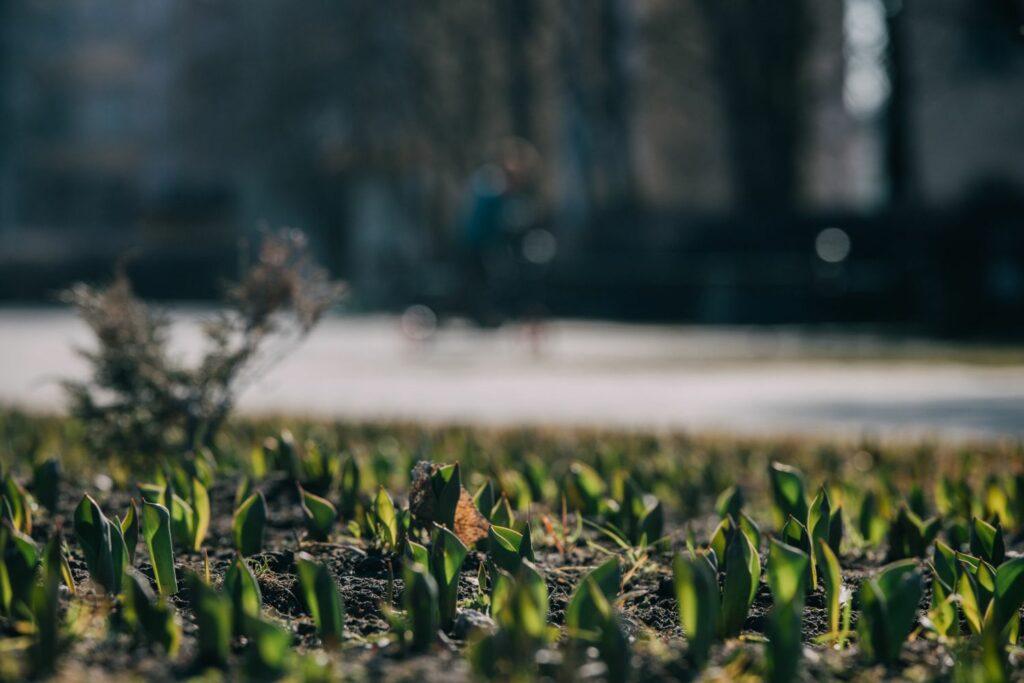 Tulpenblätter schieben sich im Frühjahr aus dem Boden