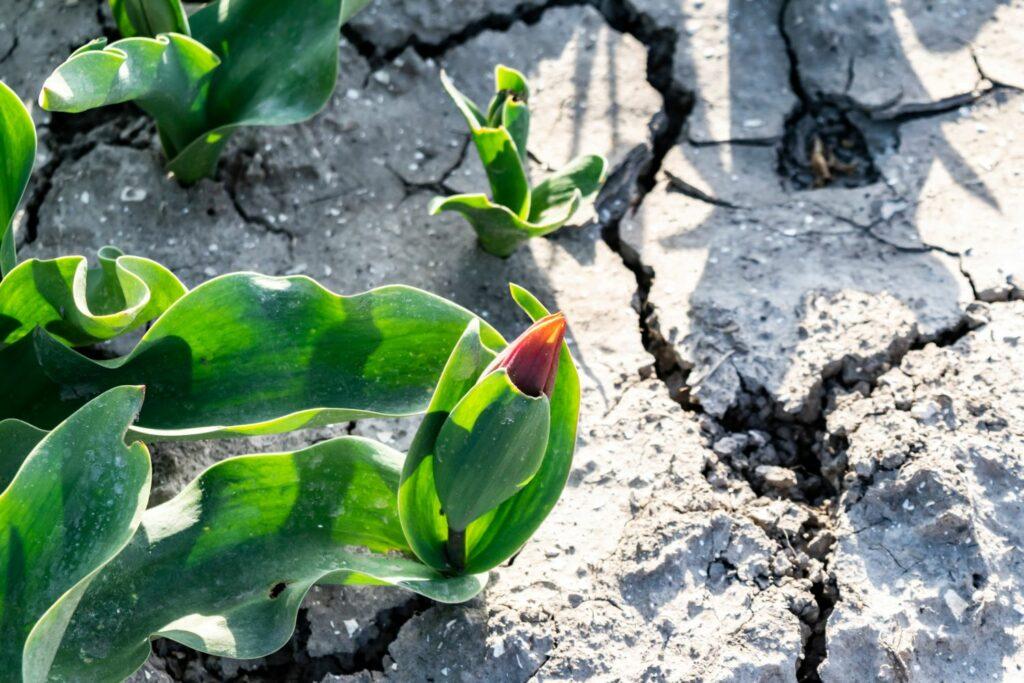 Tulpe wächst auf trockenem Boden