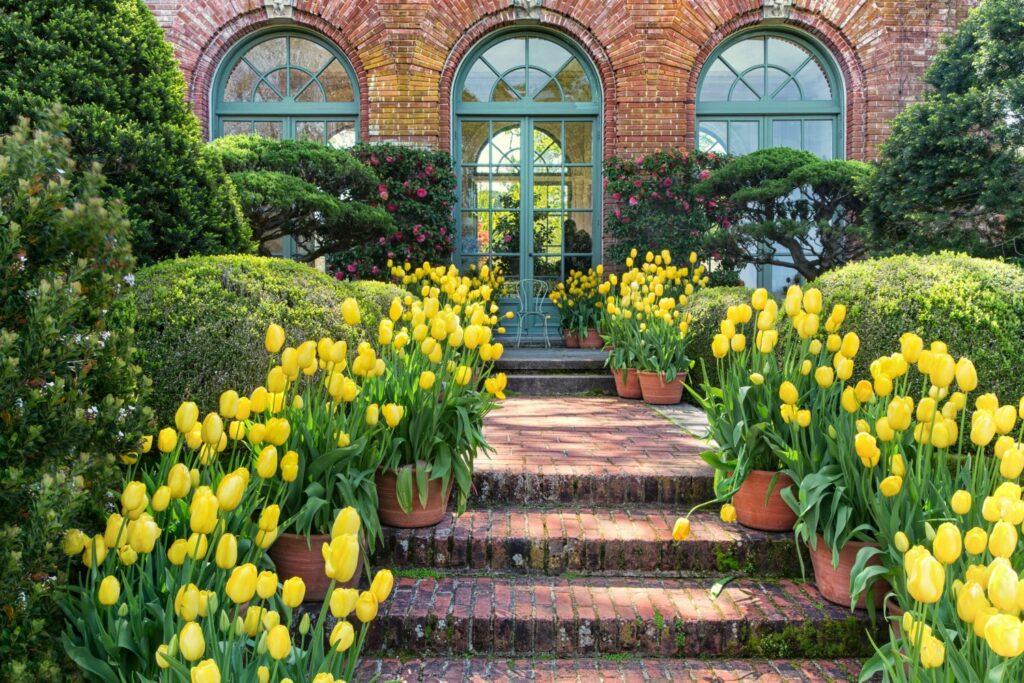 gelbe Tulpen in Kübeln