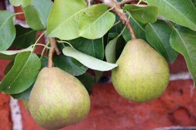 Vereinsdechantsbirne: Geschmack & Anbau der Herbstbirne