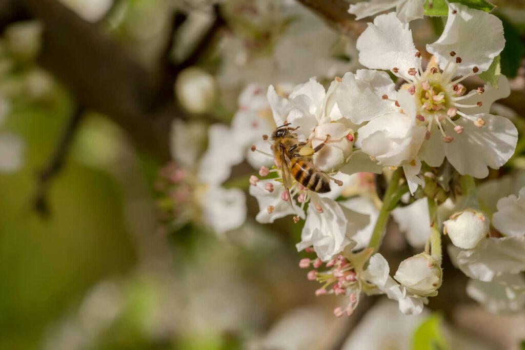Insekt an Vereins-Dechantsbirne