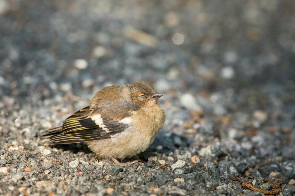 aufgeplusterter Vogel