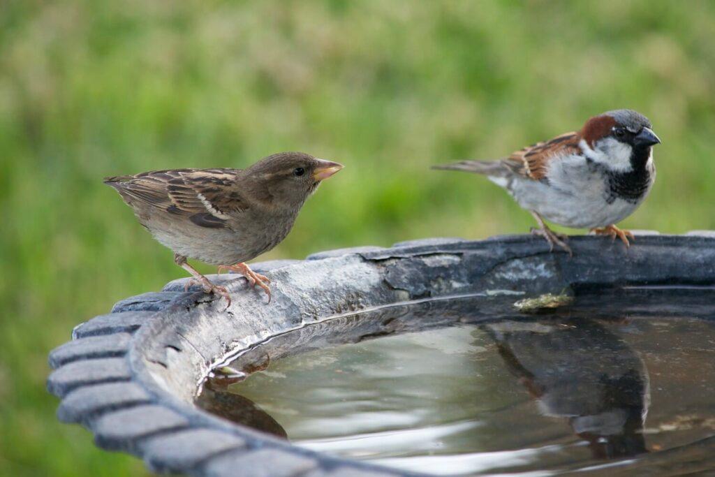 Vogel an Vogeltränke