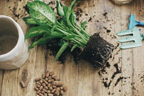 Zimmerpflanzen umtopfen: Wann, wie & welche Erde ist geeignet?