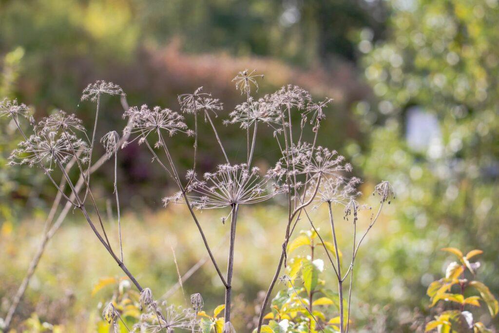 Trockene Zuckerwurzelblüten im Herbst