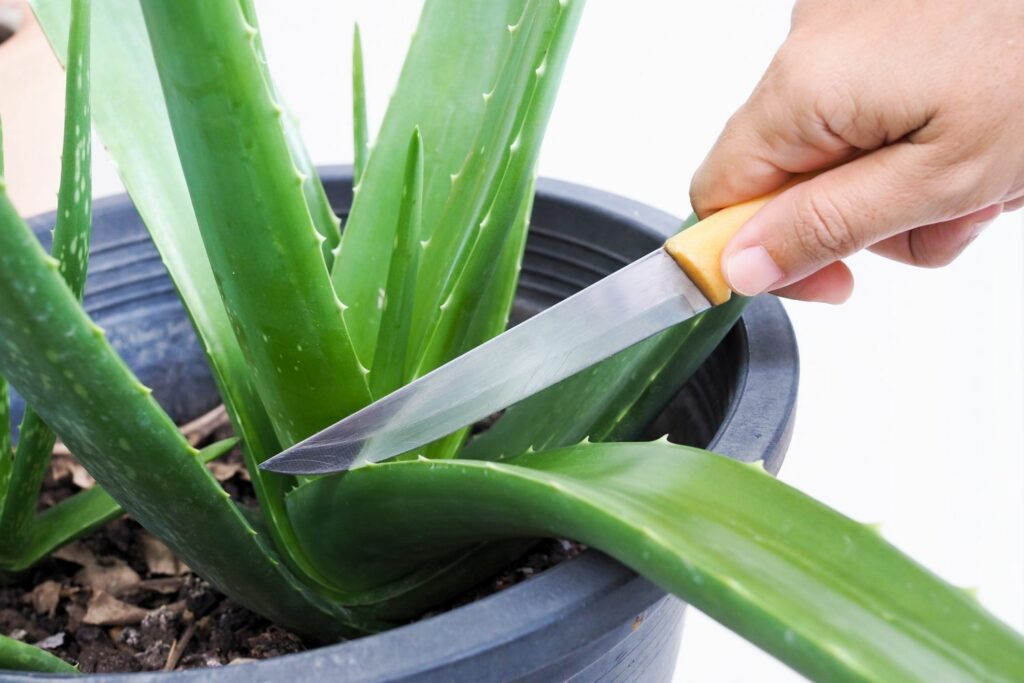 Aloe vera-Blatt wird abgeschnitten